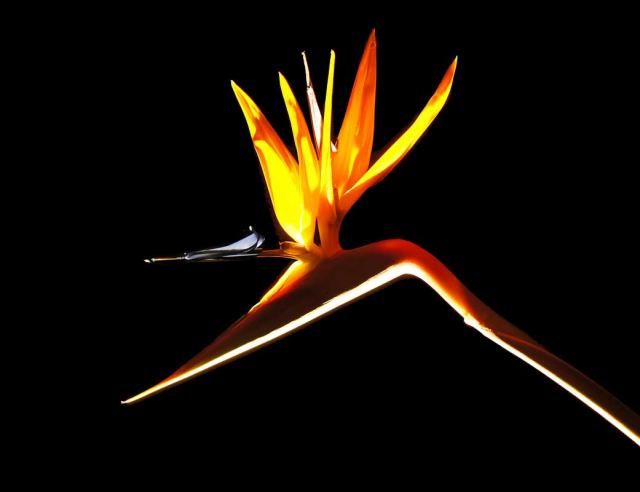 BIRD-OF-PARADISE-