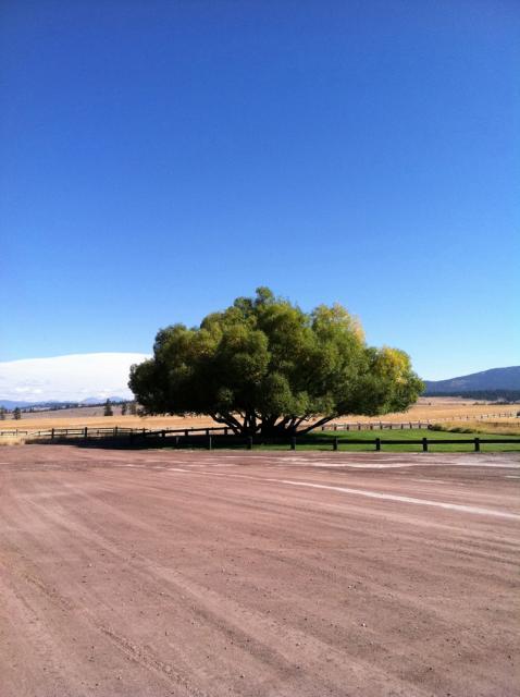 OAK TREE MONTANA SUMMER